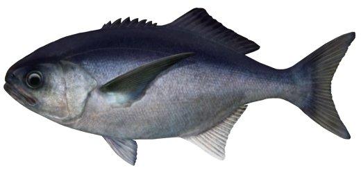 blue-eye-cod.jpg